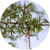 arganoil_tree